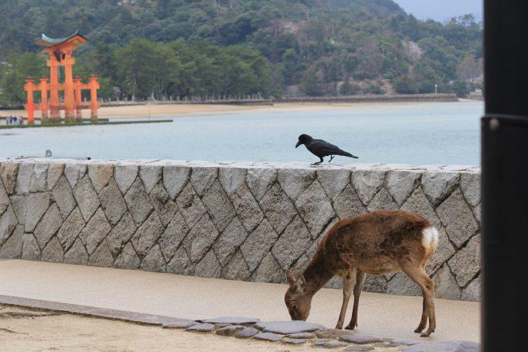 野生の鹿とカラスと大鳥居